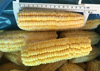 100% Fresh IQF Frozen Vegetables , High Grade Whole Sweet Sticky Corn